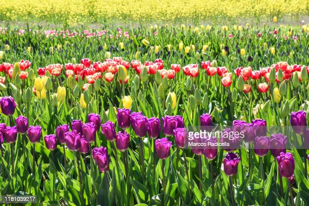 tulip flowers - radicella stock pictures, royalty-free photos & images