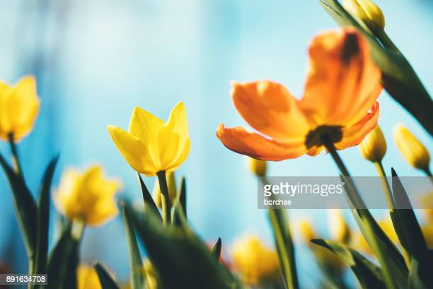 tulip flowers - springtime stock pictures, royalty-free photos & images