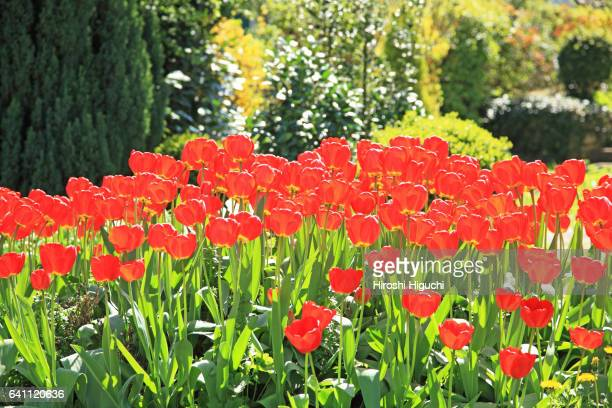 Tulip flowers, Switzerland, Canton Solothurn