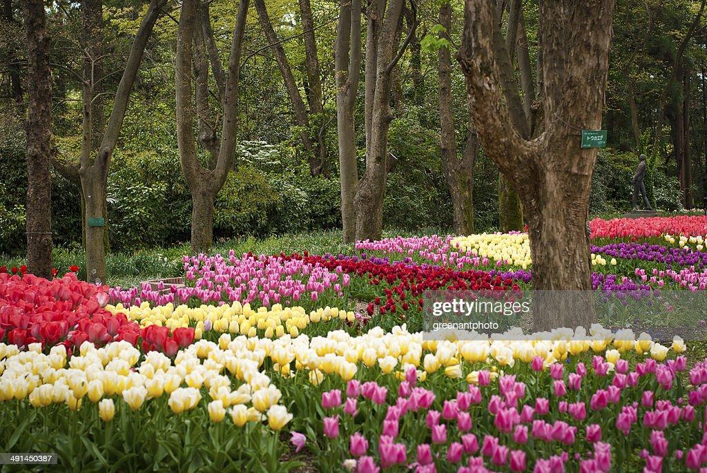 Tulip garden in Kyoto : Stock Photo