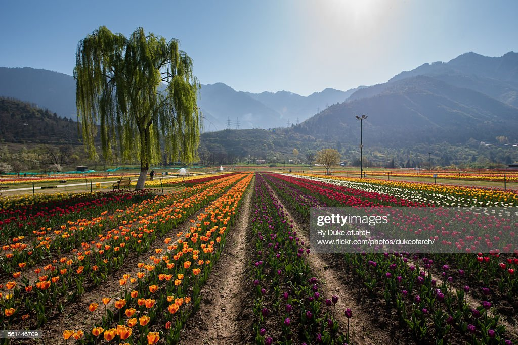 Tulip garden in Srinagar : Kashmir : India : Stock Photo