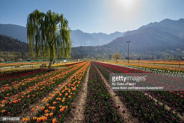 tulip garden in srinagar : kashmir : india - kashmir stock photos and pictures