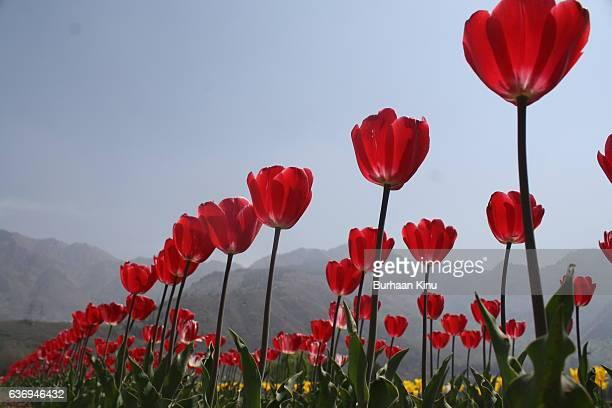 tulip garden, kashmir - burhaan kinu stock pictures, royalty-free photos & images