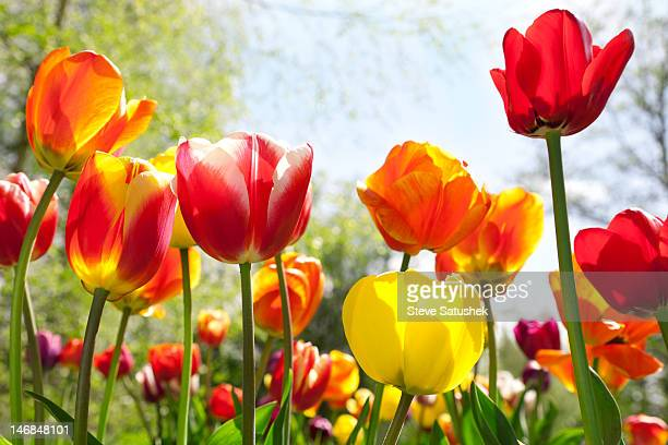 tulip (tulipa gesneriana) garden - tulip stock pictures, royalty-free photos & images