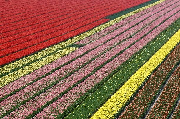 Tulip geometry