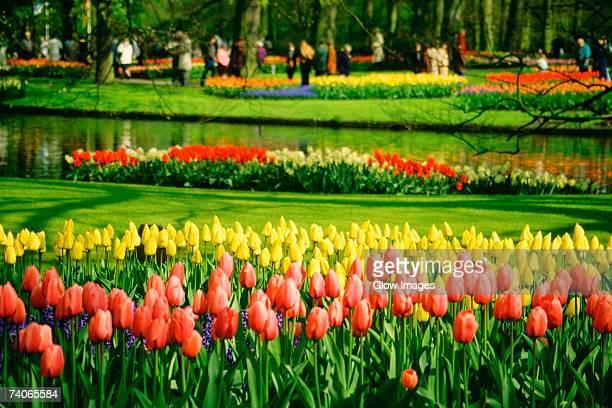 tulip growing in a garden, keukenhof gardens, lisse, netherlands - jardins de keukenhof photos et images de collection