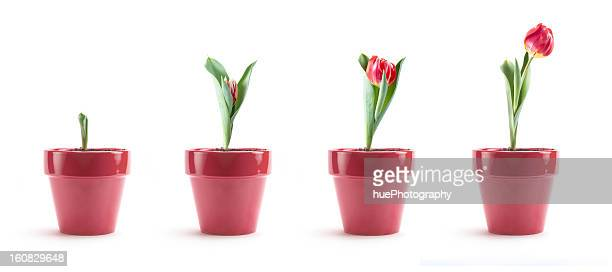 tulip growth - pot plant stock pictures, royalty-free photos & images