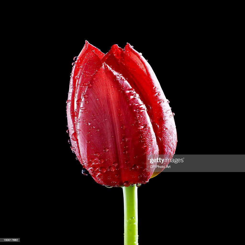Tulip Ile de France : Stock Photo