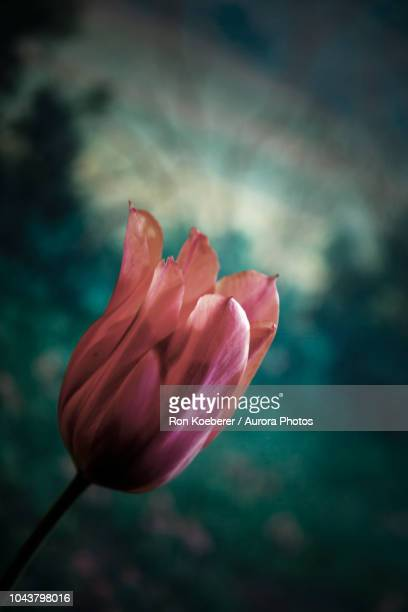 tulip in close up view - koeberer stock photos and pictures