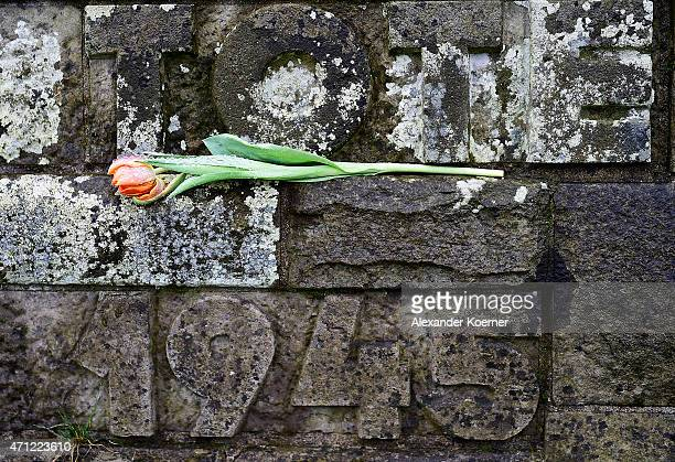 A tulip lays beside an inscription reading 'Tote 1945' on a gravestone prior to a ceremony to commemorate the 70th anniversary of the liberation of...