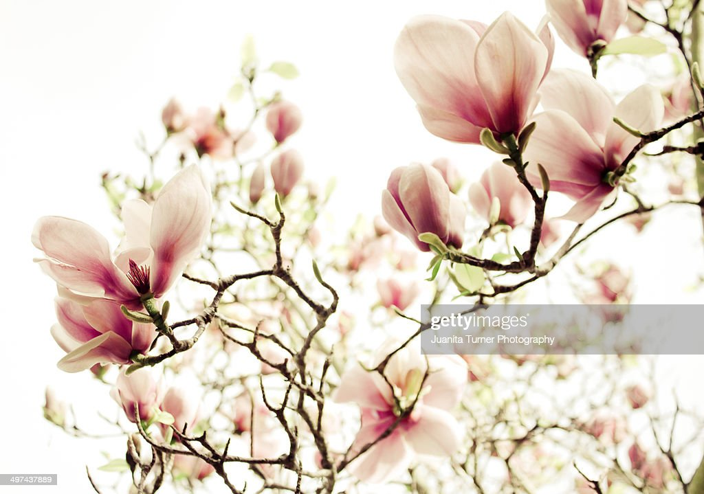 Tulip Magnolia Tree High Res Stock Photo Getty Images