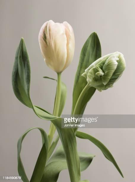 tulip - stilleven stockfoto's en -beelden