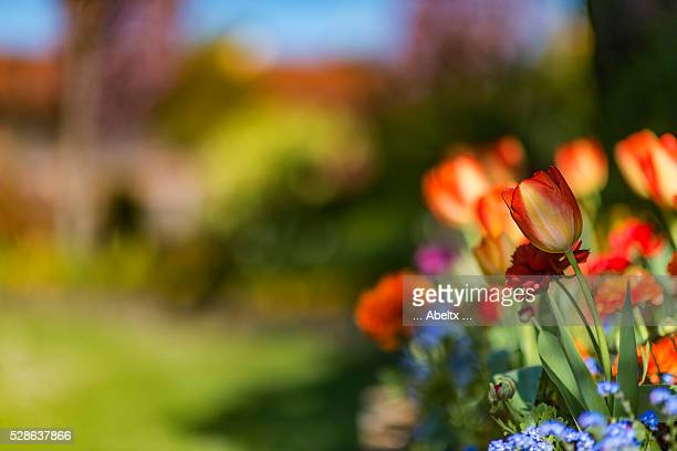 tulip - frescura stock pictures, royalty-free photos & images