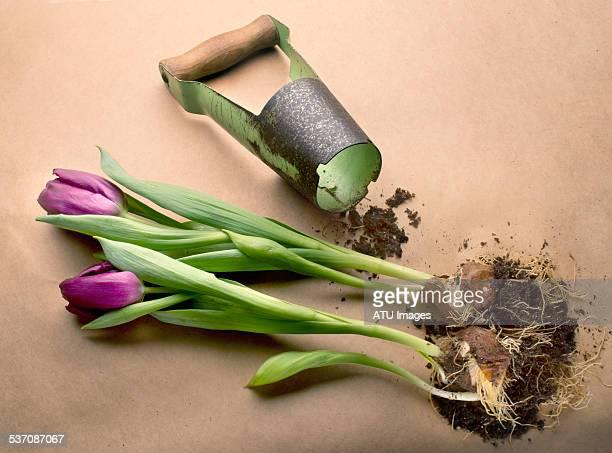 Tulip planter