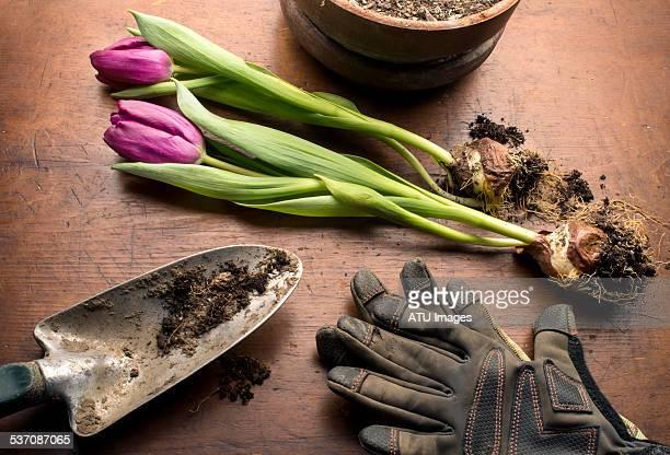 Tulip planting scene