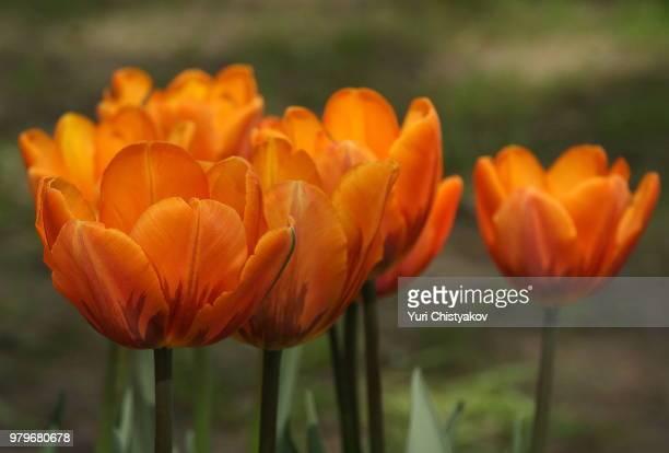 """Tulip """"Prinses Irene"""