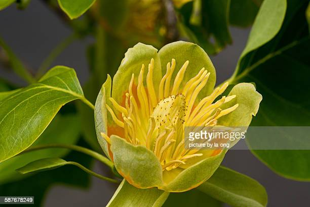 tulip tree flower - tulip tree stock photos and pictures