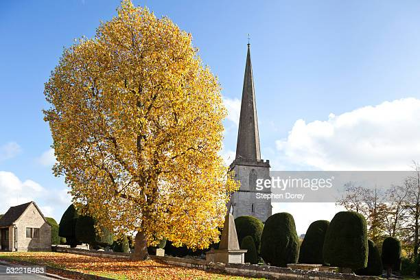 tulip tree in autumn painswick, gloucestershire uk - tulip tree stock photos and pictures