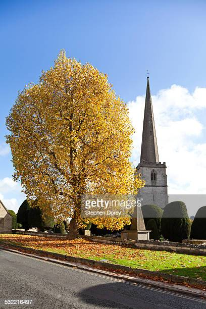 tulip tree in autumn painswick - tulip tree stock photos and pictures