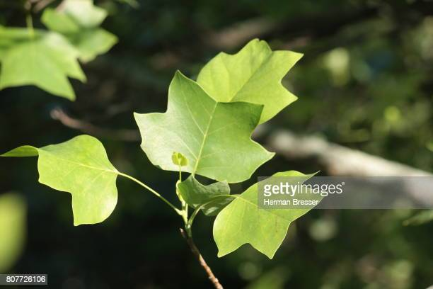 tulip tree leaves  liniodendron tulipifera - tulip tree stock photos and pictures
