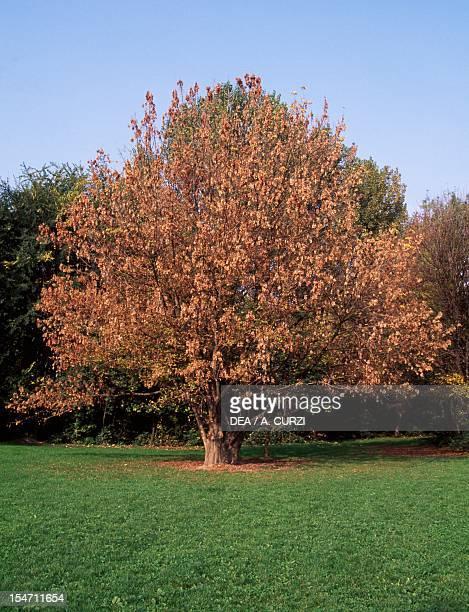 Tulip Tree Magnoliaceae Lombardy plain Italy
