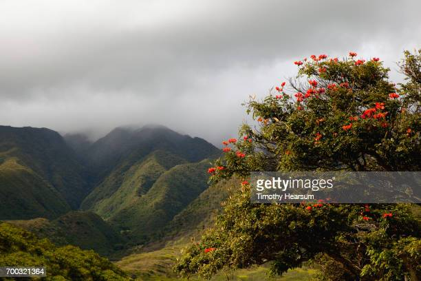 tulip tree, mountains and fog in a classic tropical landscape - timothy hearsum stock photos and pictures