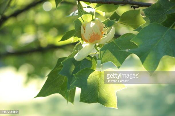 Tulip Tree with open flower