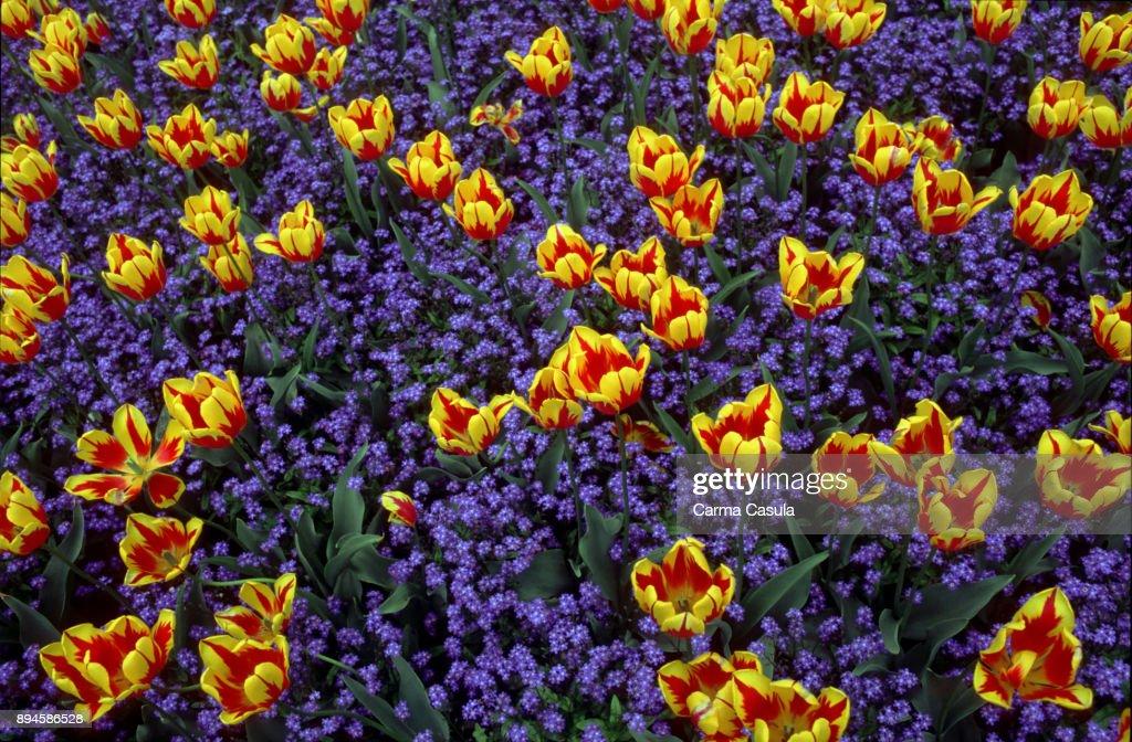 Tulipanes Amarillos Sobre Fondo De Flores En Anil Stock Photo