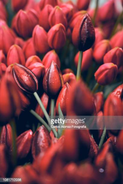 tulipanes - flower head stock pictures, royalty-free photos & images
