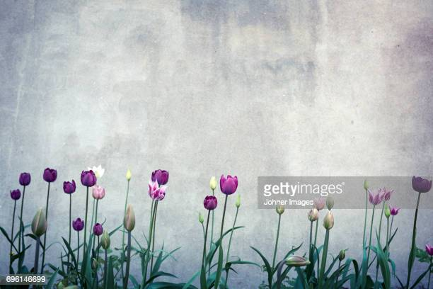 Tulips against concrete wall