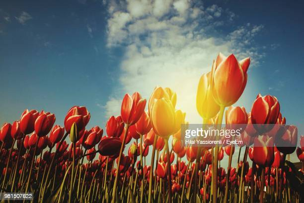 tulips against sky - hilal stock photos and pictures