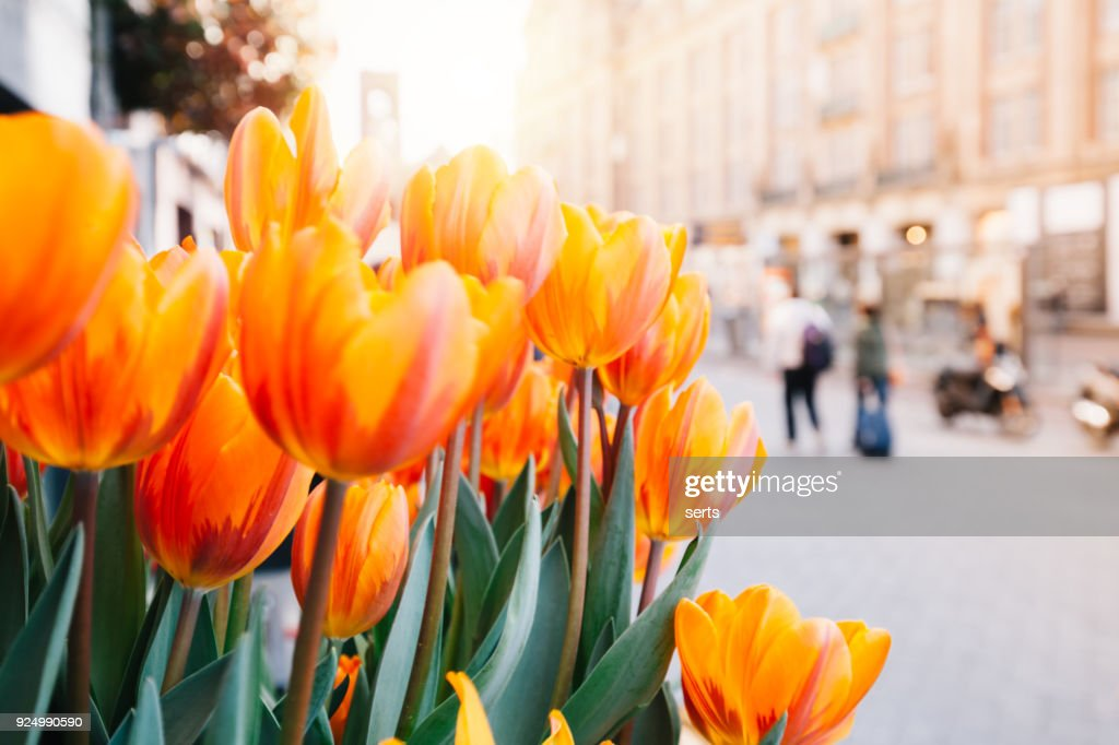 Tulips and Amsterdam : Stock Photo