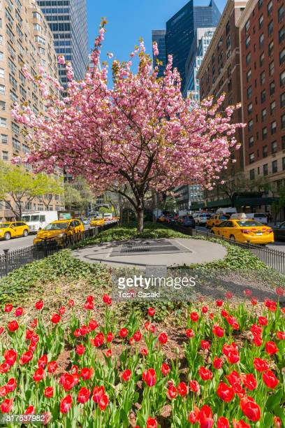 Tulips and Cherry blossoms in full-blossomed at Park Avenue in Manhattan New York City. Manhattan Traffic goes through both sides of flowers.