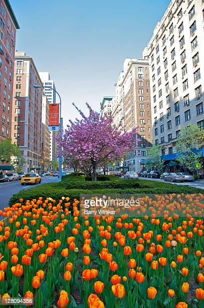 tulips and cherry blossoms on park avenue median, upper east side, new york, new york - パークアベニュー ストックフォトと画像