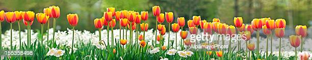 tulips and daffodils (panoramic image) - tulips and daffodils stock pictures, royalty-free photos & images