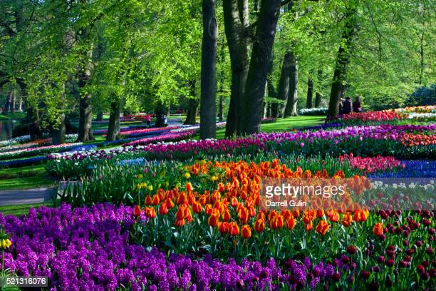 tulips and hyacinth in keukenhof gardens - keukenhof gardens stockfoto's en -beelden
