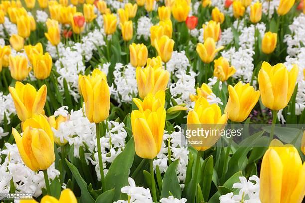 tulipes et hyacinths - theasis photos et images de collection