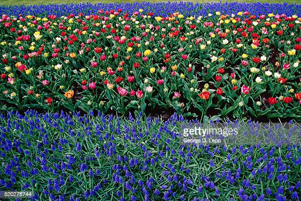 tulips and muscari armeniacum - muscari armeniacum stock pictures, royalty-free photos & images