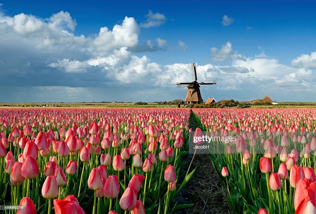 Tulpen und Windmühle : Stock-Foto