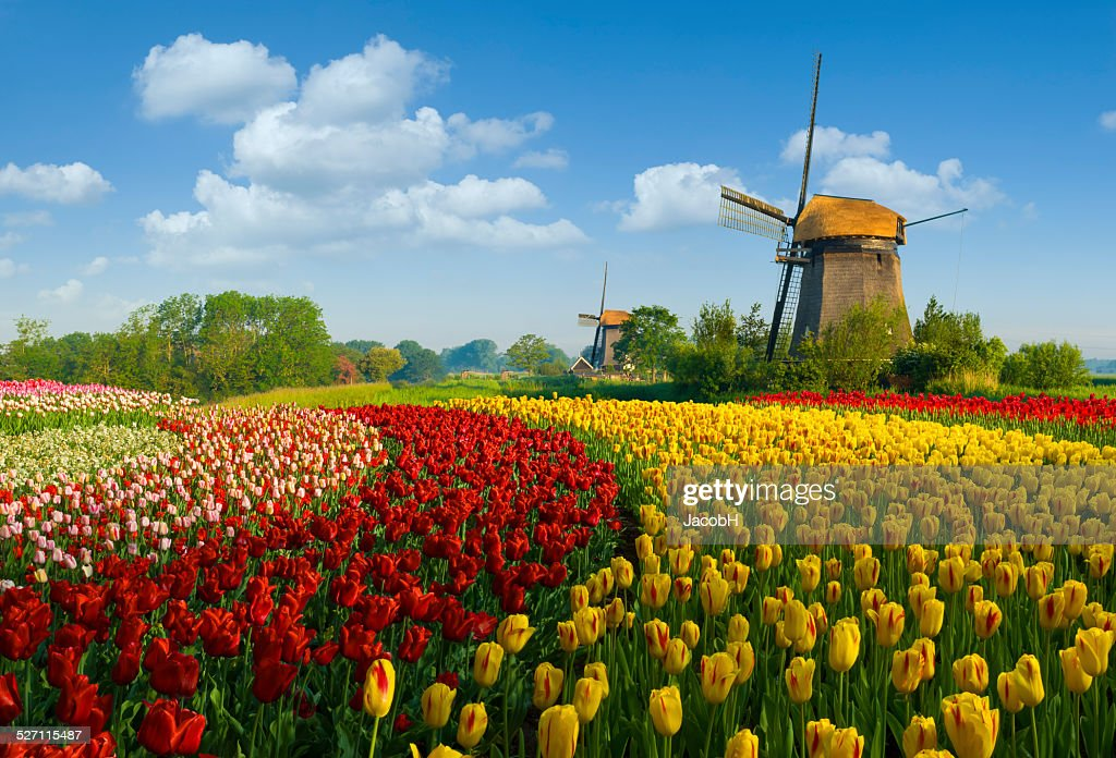 Tulips and Windmill : Stock Photo
