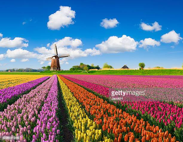 tulips and windmill - netherlands stock pictures, royalty-free photos & images