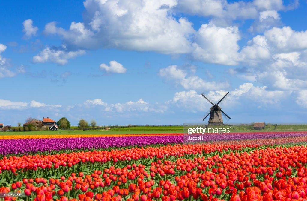 チューリップと風車  : ストックフォト