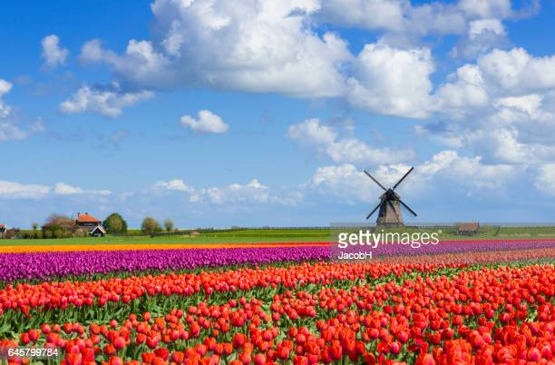 Tulpen en windmolen