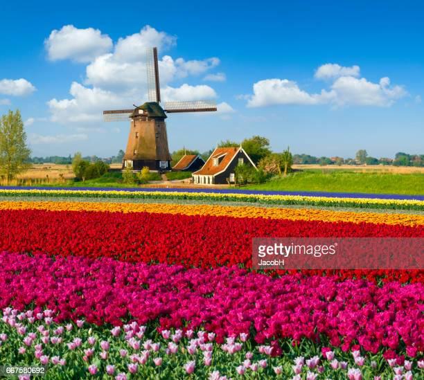 Tulpen en windmolen