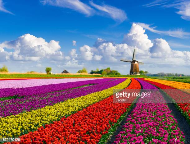 tulips and windmill - dutch culture stock pictures, royalty-free photos & images