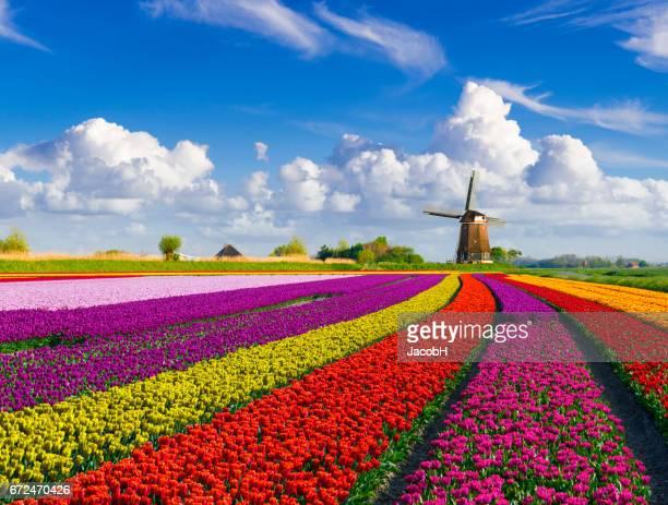 tulpen en windmolen - nederlandse cultuur stockfoto's en -beelden