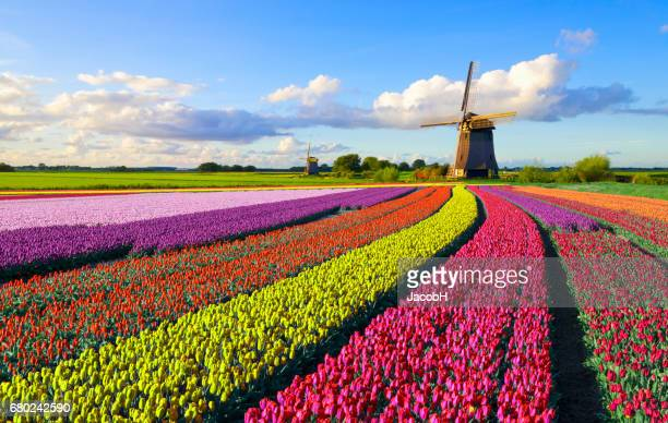 tulips and windmill - flower head stock pictures, royalty-free photos & images