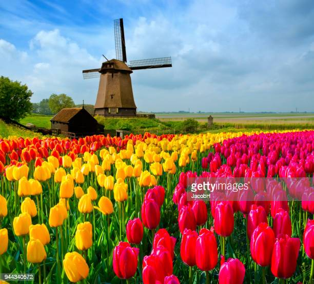 tulips and windmill - dutch windmill stock photos and pictures