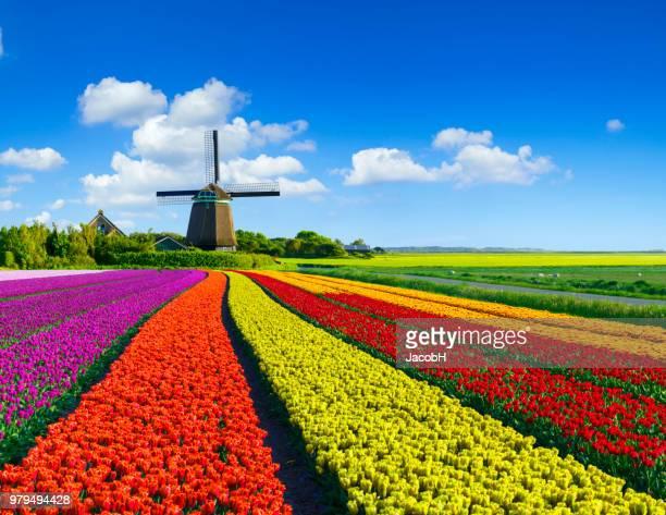 チューリップと風車  - 風車塔 ストックフォトと画像