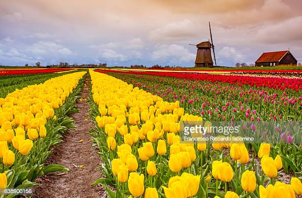 tulips and windmills in netherlands - iacomino netherlands foto e immagini stock